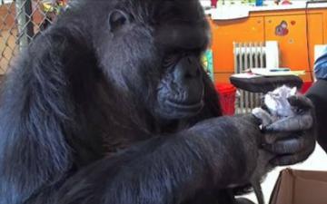 Горилла из зоопарка Сан-Франциско усыновила котят (ВИДЕО)