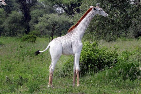 В Восточной Африке было обнаружено редчайшее животное (ФОТО)