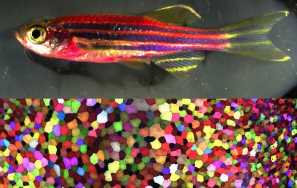 Американские ученые создали рыбу-мутанта с окраской из 70 цветов (ФОТО)