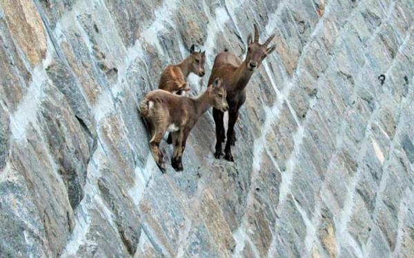 Никакой физики. Феномен горных коз (ФОТО)