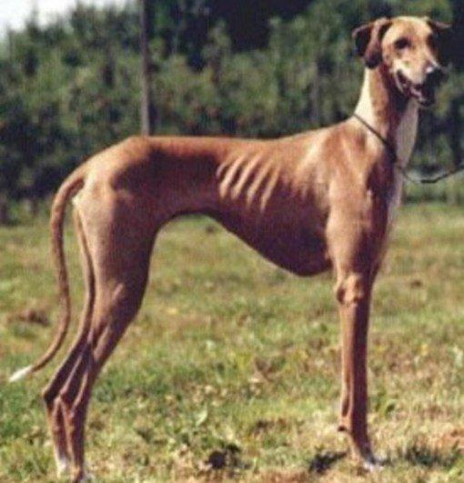Одна на миллион. Топ-10 самых редких в мире пород собак (ФОТО)