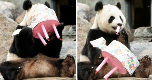 Забавные животные-именинники, принимающие свои подарки (ФОТО)