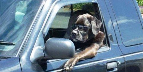 Собаки, которые обожают поездки на автомобиле (ФОТО)