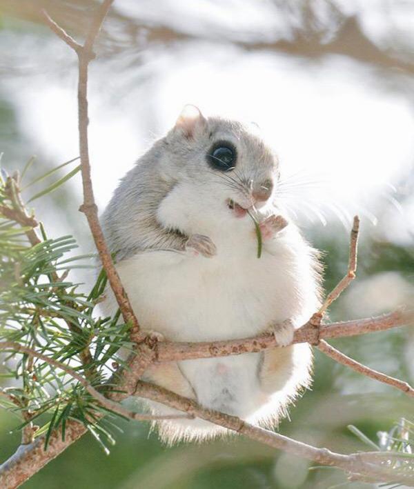 Белки-летяги - самые очаровательные на земле существа (ФОТО)