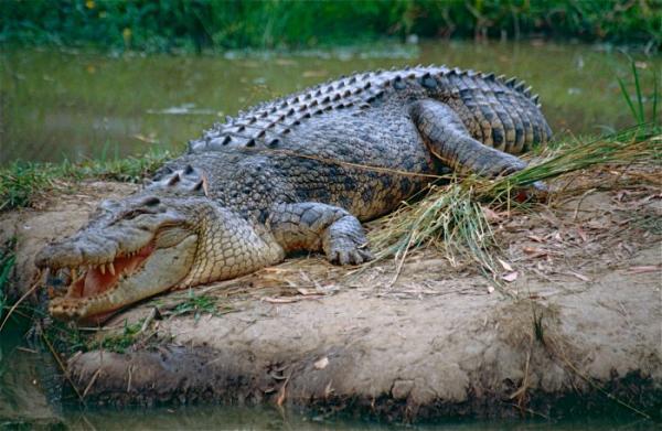 Солти - самая большая рептилия в мире (ФОТО)