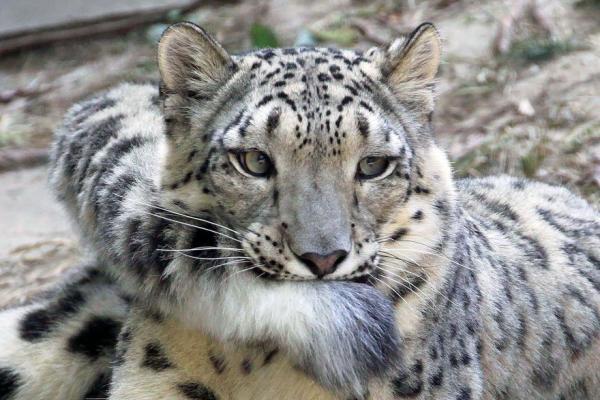 Странное поведение. Снежные леопарды без ума от своих хвостов (ФОТО)
