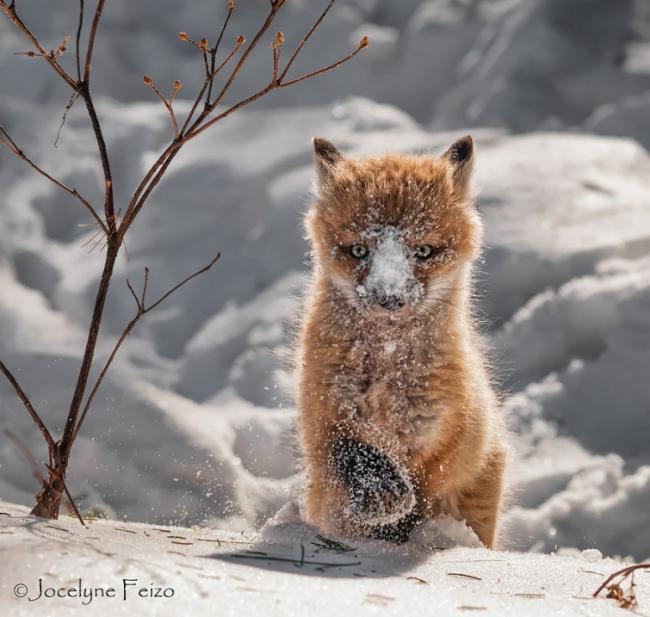20 трогательных снимков очаровательных маленьких лисят (ФОТО)
