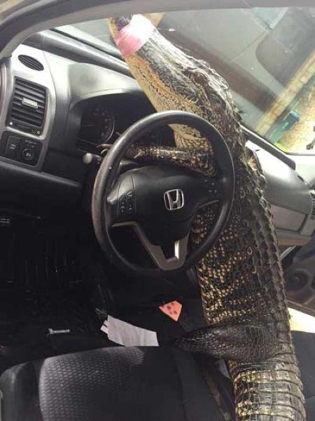 Незваный гость: аллигатор едва не угнал автомобиль в американском штате Техас (ФОТО)