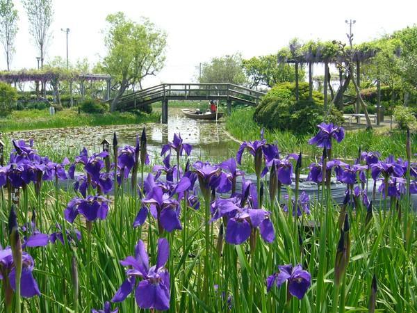 Удивительная достопримечательность: водный сад ирисов в Японии (ФОТО)