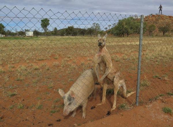 В Австралии кенгуру и свинья доказали, что любовь не знает границ (ФОТО)