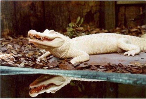 Магнит для туристов: в парке живой природы в США обитает уникальный аллигатор (ФОТО)