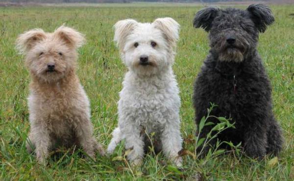 Пума: уникальный вид пушистых собак (ФОТО)