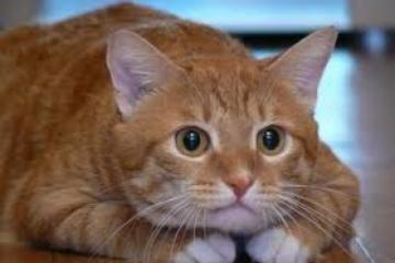 Пример для подражания. Как толстый кот 20 кг сбросил (ВИДЕО)