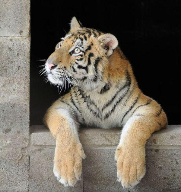Чудесное преображение: добрый житель Техаса спас молодую тигрицу (ФОТО)