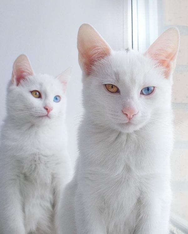 Необычные питомцы: кошки-близняшки Айрисс и Эбисс (ФОТО)