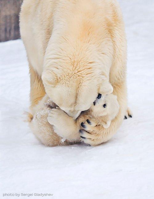 Очаровательные медведицы с медвежатами (ФОТО)
