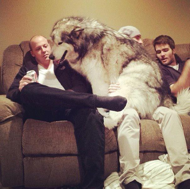 20 огромных собак, которые не понимают насколько они большие (ФОТО)