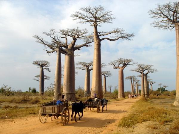 Необычный пейзаж:  притягивающая туристов аллея баобабов на Мадагаскаре (ФОТО)
