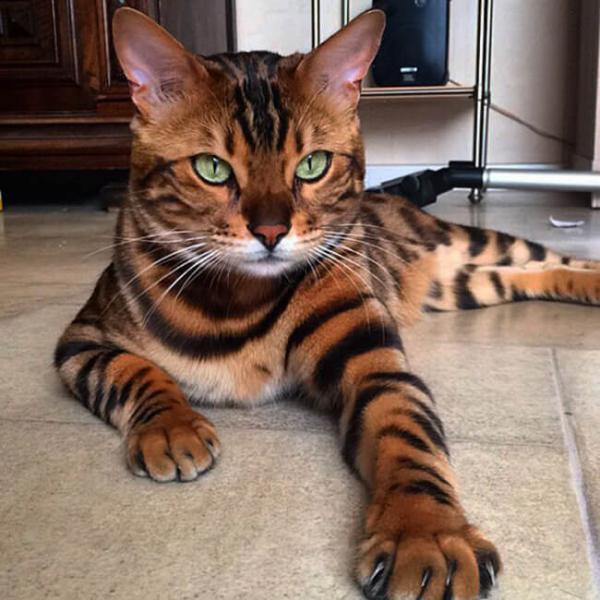 Роскошный Бенгальский кот по имени Тор стал новой звездой Instagram (ФОТО)