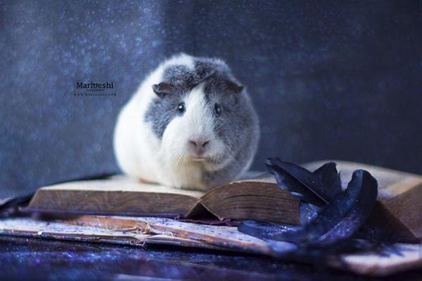 Невероятно фотогеничная морская свинка по кличке Мипс стало новой звездой Интернета (ФОТО)
