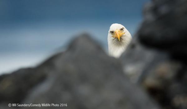 Самые смешные фотографии с конкурса Comedy Wildlife Photography Awards 2016 (ФОТО)