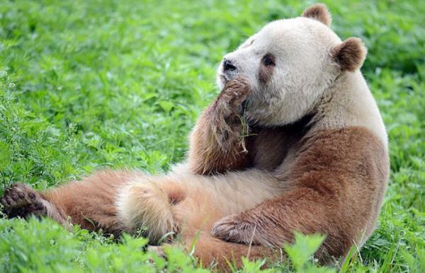 Уникальное создание – единственная в мире бело-коричневая панда (ФОТО)
