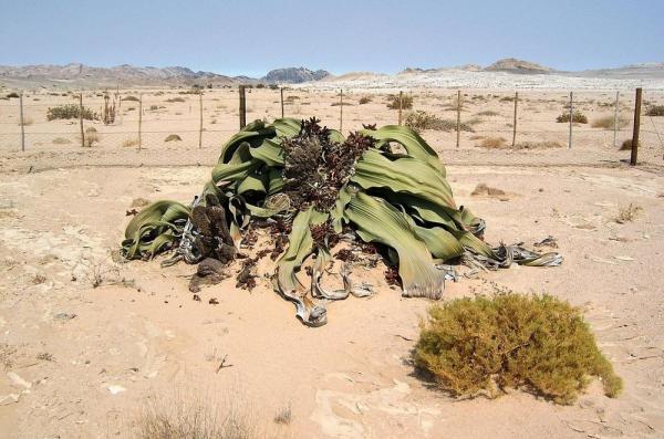 Самое уродливое растение на планете (ФОТО)