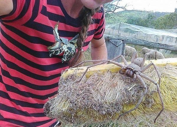 В Австралии обнаружили самого большого паука в мире (ФОТО)