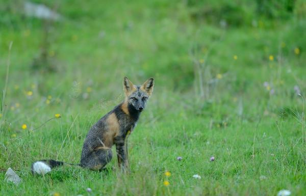Рыжие королевы: самые красивые лисицы в мире (ФОТО)