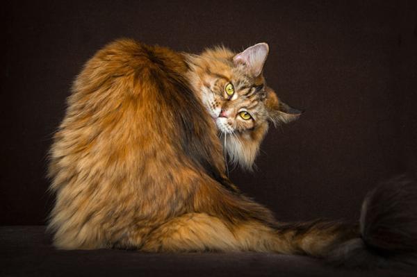 Красота мейн-кунов в фотографиях Robert Sijka (ФОТО)