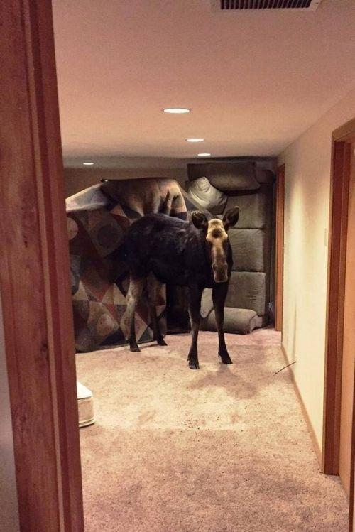 Незваный гость: 270-килограммовый лось вломился в дом жителя американского штата Айдахо (ФОТО)