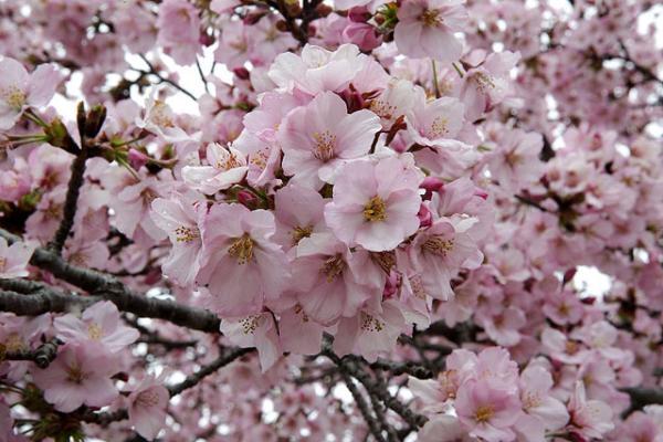 Розовое чудо: в Вашингтоне зацвела сакура (ФОТО)