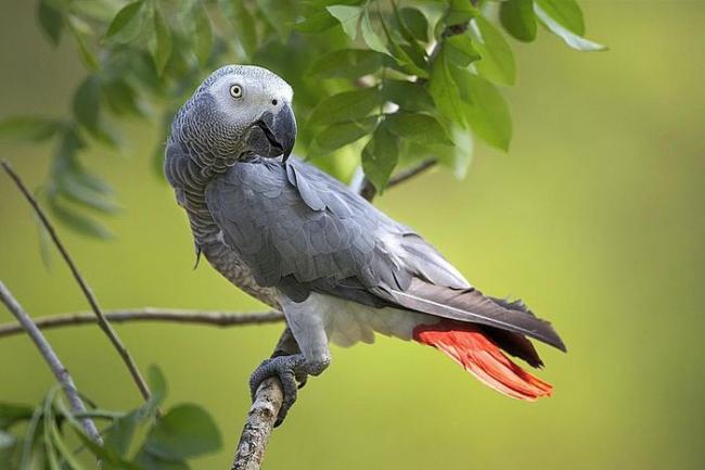 В британском зоопарке расселили пятерых попугаев, которые научили друг друга материться и ругались на посетителей