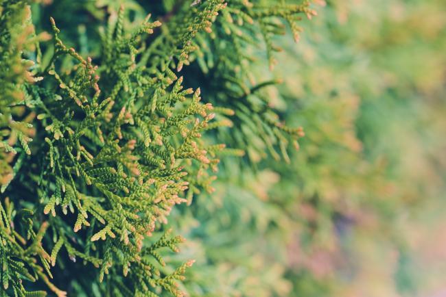 Хвойные деревья и кустарники – шикарная зелень круглый год