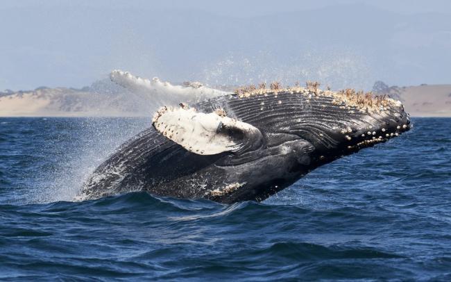 В США кит целиком проглотил аквалангиста. Мужчина выжил и почти не пострадал