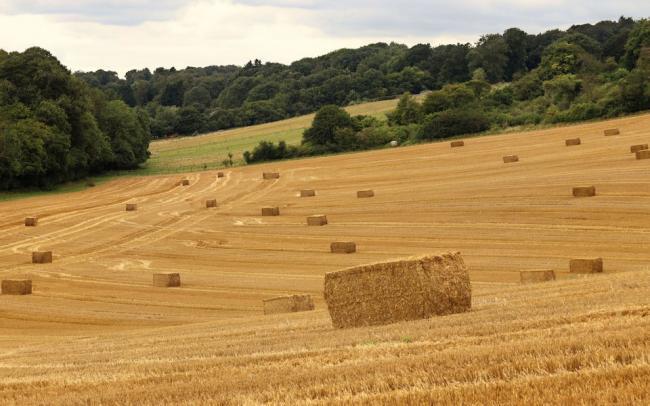 В Великобритании будут выращивать пшеницу, снижающую риск возникновения рака